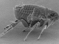 ap-fleas