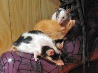 ap-mice