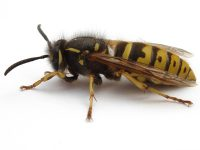 Wasps - Antex Pest Control – Serving Nanaimo, Duncan, Ladysmith and surrounding areas