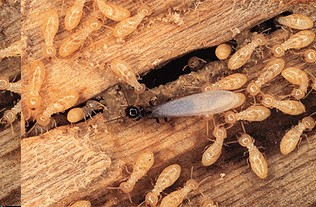 Pest Control - Termites - DID YOU KNOW